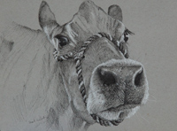 A curious animal. Puyallup Fair cow 9 x 12 black and white ink on gray toned Strathmore paper