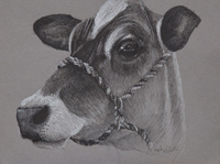 Its going to be hard to eat steak after this animal tried to lick my hand. Puyallup Fair cow 9 x 12 black and white ink on gray toned Strathmore paper