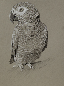 George is an African Gray parrot who lives with Gill, a friend of mine. 9 x 12 black and white ink on gray toned Strathmore paper
