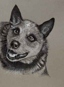My third drawing of my sons dog named Wyatt. He is a feisty blue heeler. 9 x 12 black and white ink on gray toned Strathmore paper